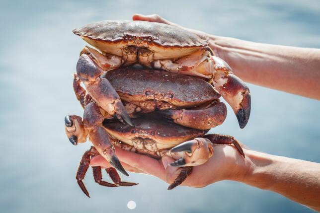 SOMMERFAVORITT: Hvitt, rent krabbekjøtt kan spises nærmest ubegrenset, men mengden brunkjøtt bør etter Mattilsynets anbefaling begrenses, spesielt for enkelte grupper av befolkningen. Foto: Shutterstock