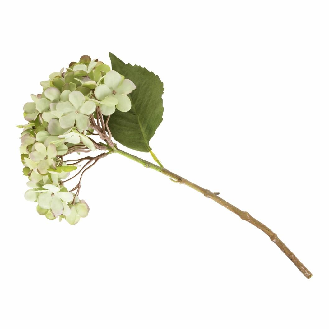 Evigvarende hortensia (kr 70 Kremmerhuset).