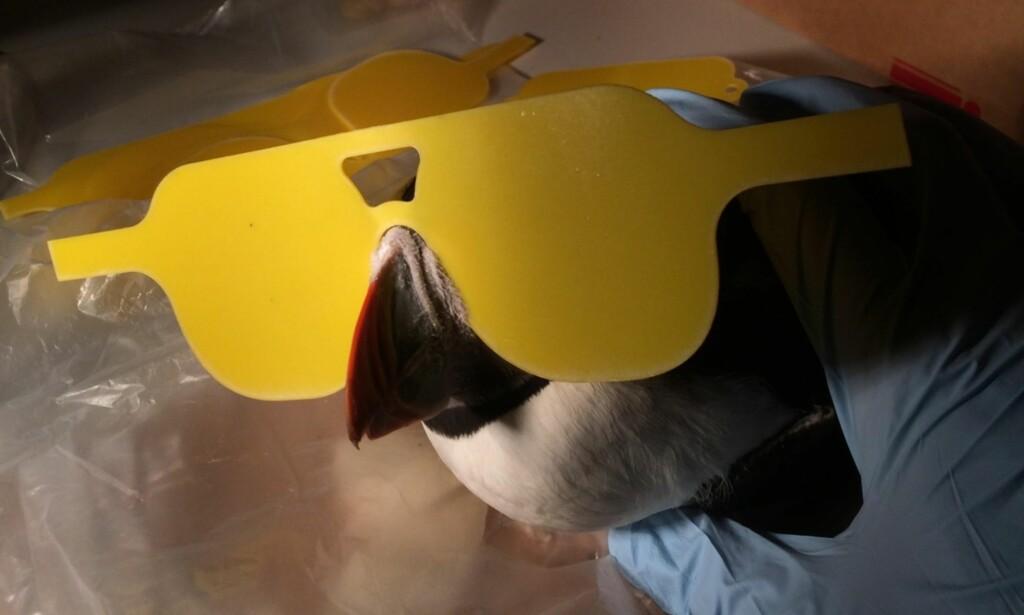BRILLEFIN: Nye undersøkelser av levende fugler vil gjennomføres med spesialtilpassede briller. Foto: Jamie Dunning
