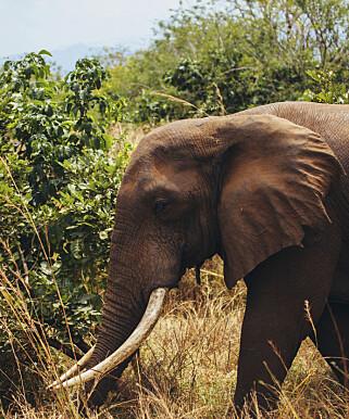 KRYPSKYTTERE: Minst 20 000 afrikanske elefanter blir drept av krypskyttere hvert år, hevder WWF. Foto: NTB Scanpix