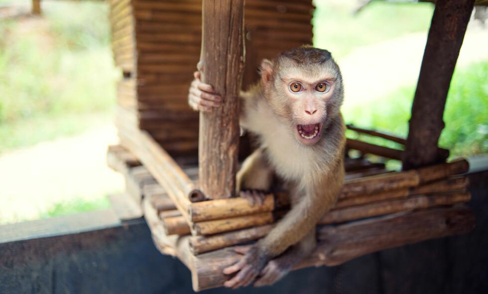 MAKAKE: Ifølge internett har makaker «mange menneskelignende egenskaper som gjør dem svært underholdende å observere». At de ikke er så morsomme å krangle med, visste ikke Eirik. Foto: Shutterstock / NTB Scanpix