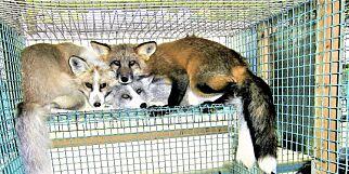 image: Uanstendig avvikling av pelsdyrnæringen