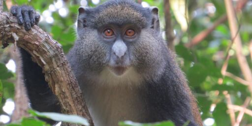 image: Forskerne trodde apene bare paret seg med egen art. Men de er ikke så kresne likevel ...