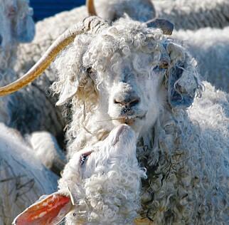 SNART UTE AV BUTIKK: Flere kleskjeder stopper salg av klær som inneholder ull fra denne geita: Mohair. Foto: NTB scanpix