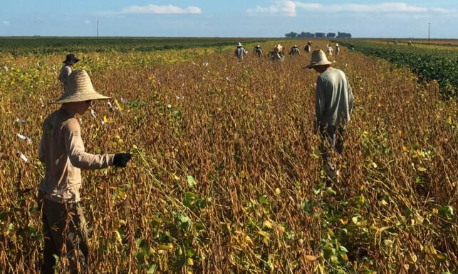 STORE VERDIER: Jaget etter proteiner gjør at soya gjerne kalles det nye gullrushet. Bildet viser arbeidere på en soyaplantasje i Bahia i Brasil tidligere i år. Den nye rapporten fra Regnskogfondet omhandler ikke dette området. REUTERS/Roberto Samora