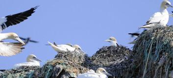 Arktiske sjøfugler dør i reder de bygger av plastsøppel
