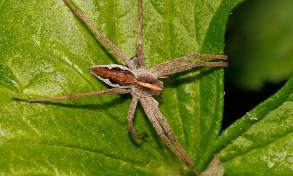 GIFTIG: Stor lyngrovedderkopp (Pisaura mirabilis) - er som de fleste andre edderkopper i Norge giftig. Men den er ikke farlig for mennesker. NTB Scanpix / Shutterstock