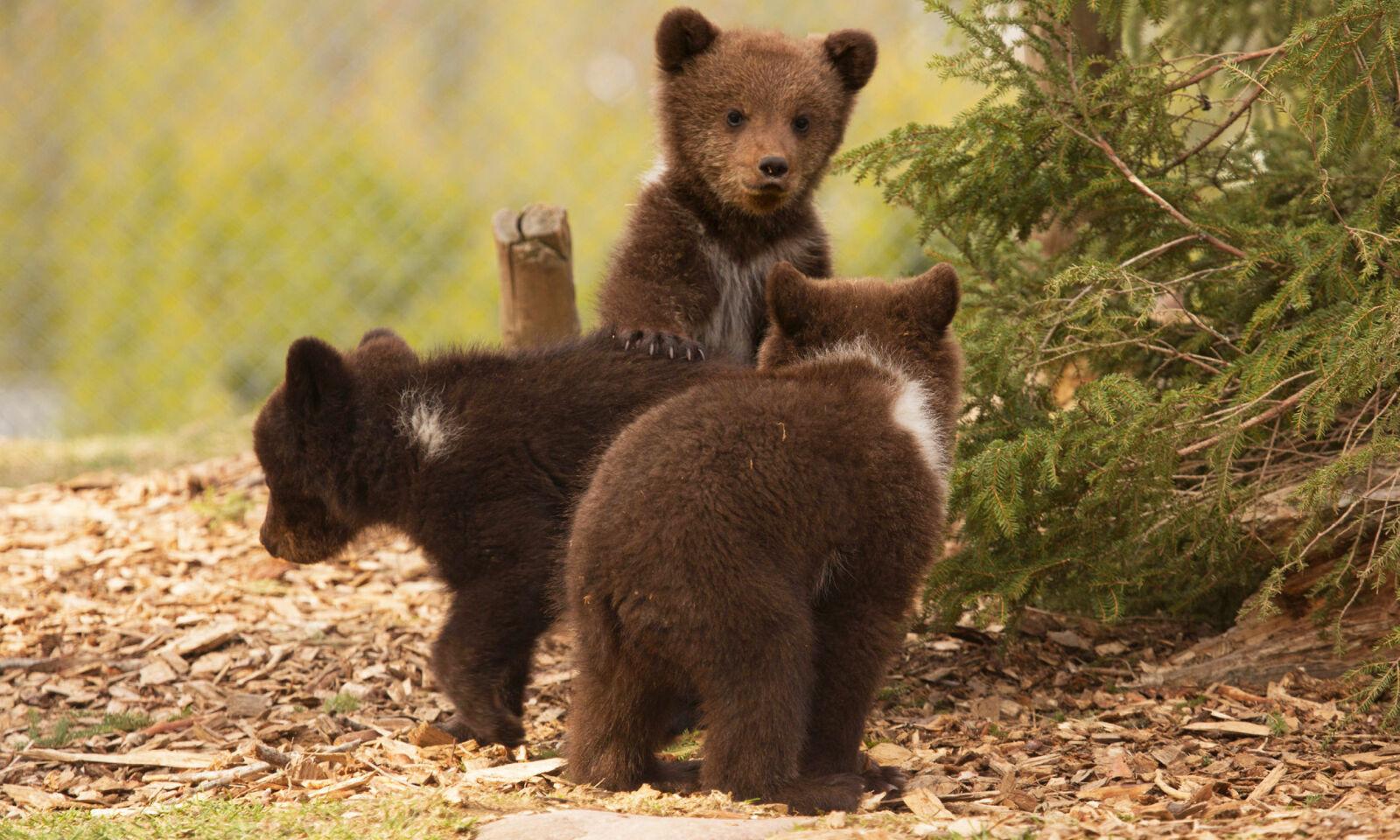 NATURLIG MILJØ: I Orsa Rovdjurspark får du møtt bjørner og andre spennende dyr i sitt rette element. Foto: Orsa Rovdjurspark