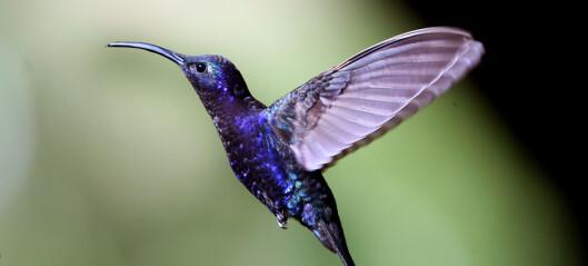Slik blir du kvitt kolibrier i hagen