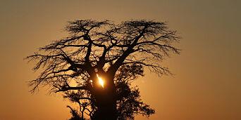 image: Tusen år gamle giganttrær døde plutselig