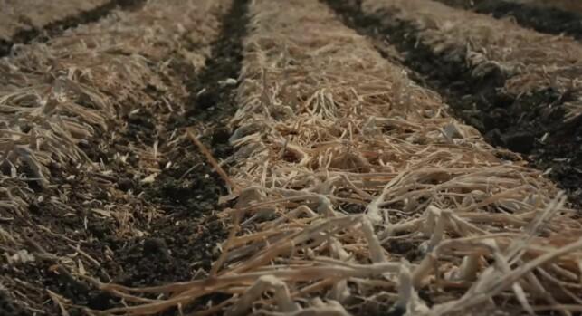 FERDIG MODNET: Slik ser løken ut når den er klar for innhøsting. Sprø og tørkede blader som har falt til jorden.