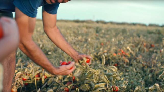 BÆREKRAFTIG: En av Knorrs tomatbønder i Spania lar tomatene «tørste» noen dager før innhøsting. Slik fremhever de den gode smaken i tillegg til å spare på vannet.