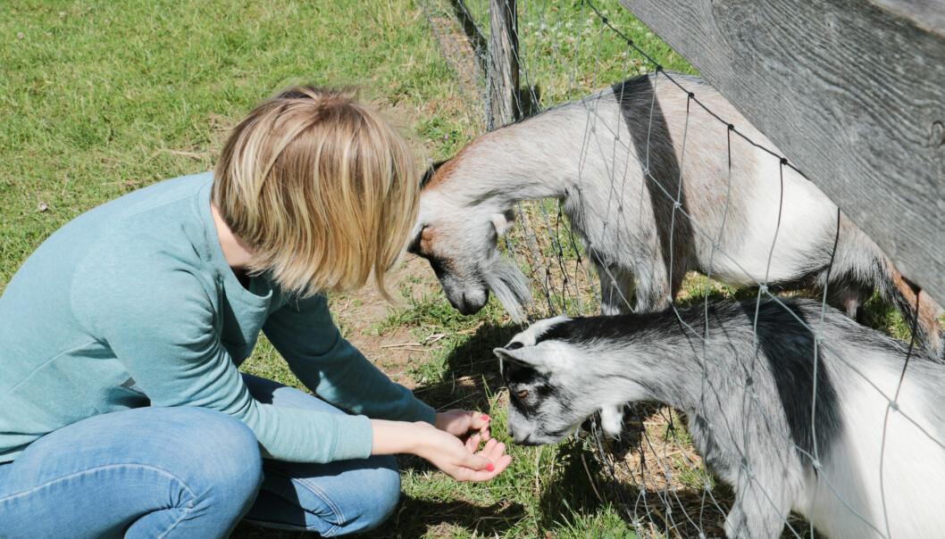 <strong>DYREGÅRD:</strong> Vi fikk hilse på både geiter, esel og høner da vi besøkte Skallerup. Foto: Kristin Sørdal