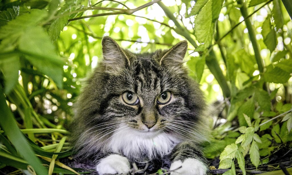 DOBBELTLIV: Hva gjør kjæledeggen vår når vi ikke ser henne? Med overvåkningsutstyr i pelsen skal Astrid gi et unikt innblikk i livet som katt. Foto: Hørn H. Moen