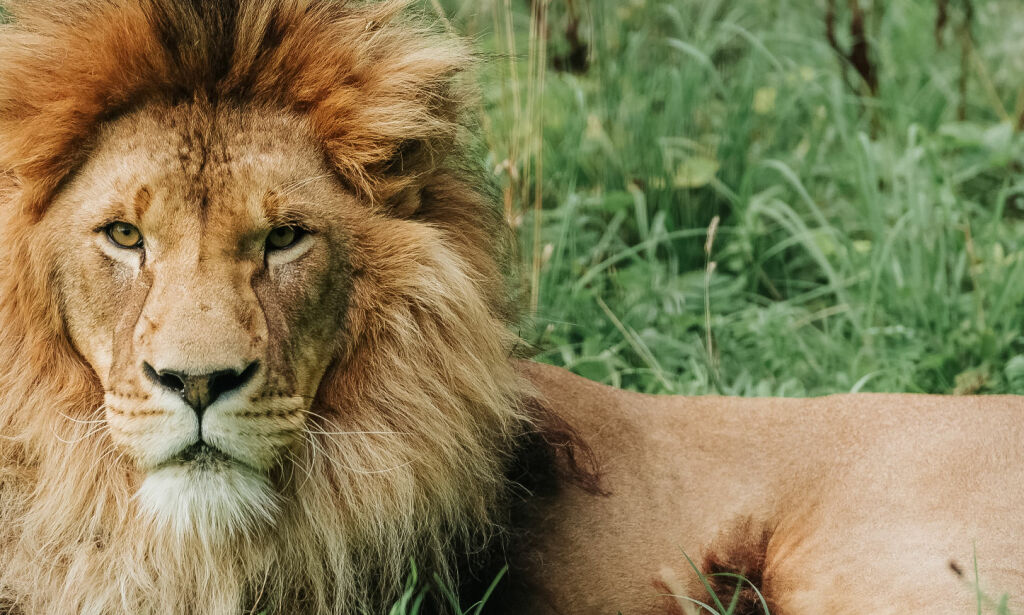 image: Tre krypskyttere spist av stor løveflokk