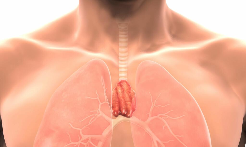 BRISSEL: Organet er både en del av lymfesystemet, hormonsystemet og immunsystemet i kroppen din. Den medisinske betegnelsen er thymus. Foto: NTB Scanpix / Shuttersstock