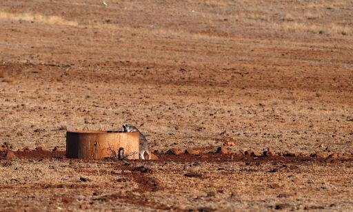 Verste tørke på 50 år i Australia. Må skyte kenguruer