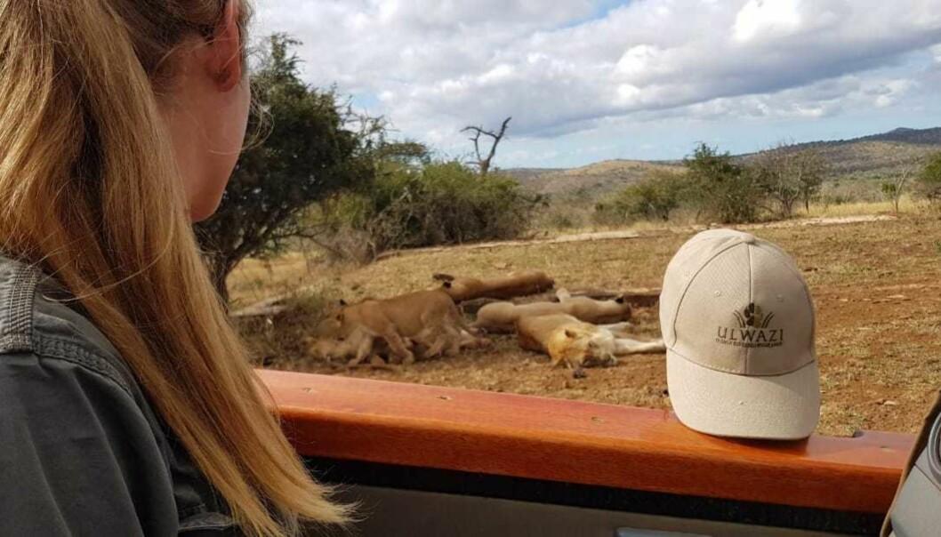 NÆRKONTAKT MED LØVER: I jobben treffer hun daglig potensielt farlige dyr. Reservatet er hjem til alle «de fem store», det vil si løver, leoparder, neshorn, elefanter og bøfler. FOTO: Privat