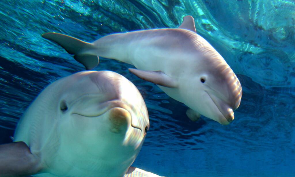 TERRORISERES AV KÅT DELFIN: Den franske byen Landévennec har innført badeforbud etter at delfinen Zafar har skremt flere badegjester. Ingen av delfinene på bildet er den aktuelle delfinen som omtales i saken. Foto: NTB Scanpix