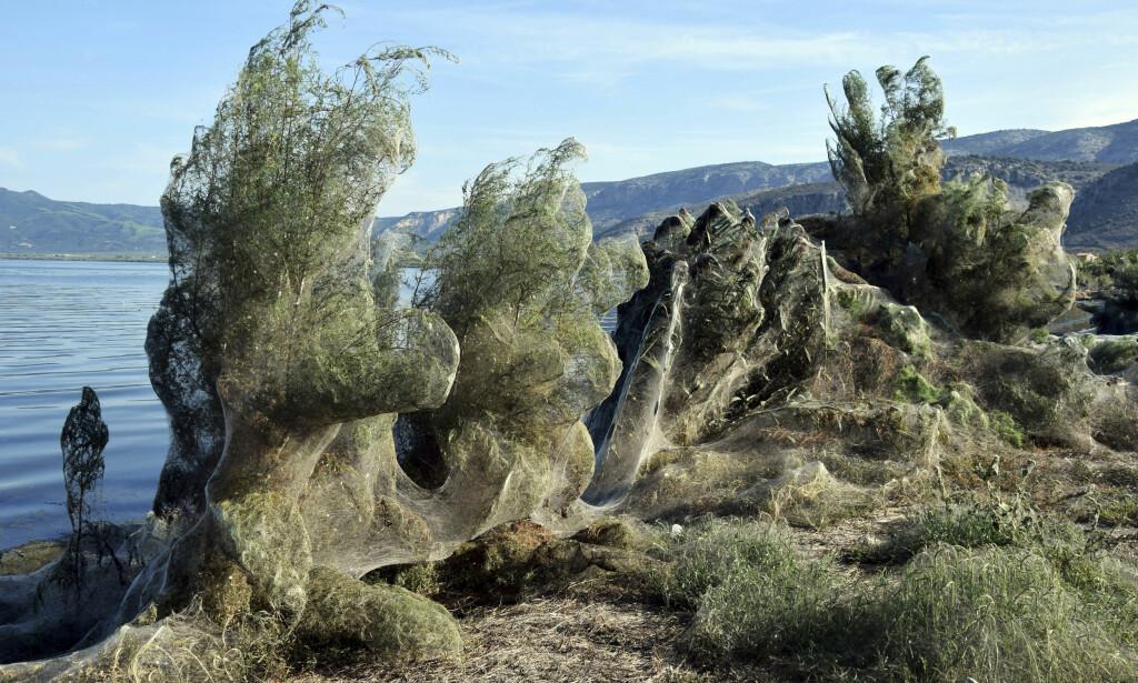 300 METER: Spindelvevet dekker både steiner, trær og busker. Men vil snart forsvinne av seg selv. Foto: AP / NTB scanpix