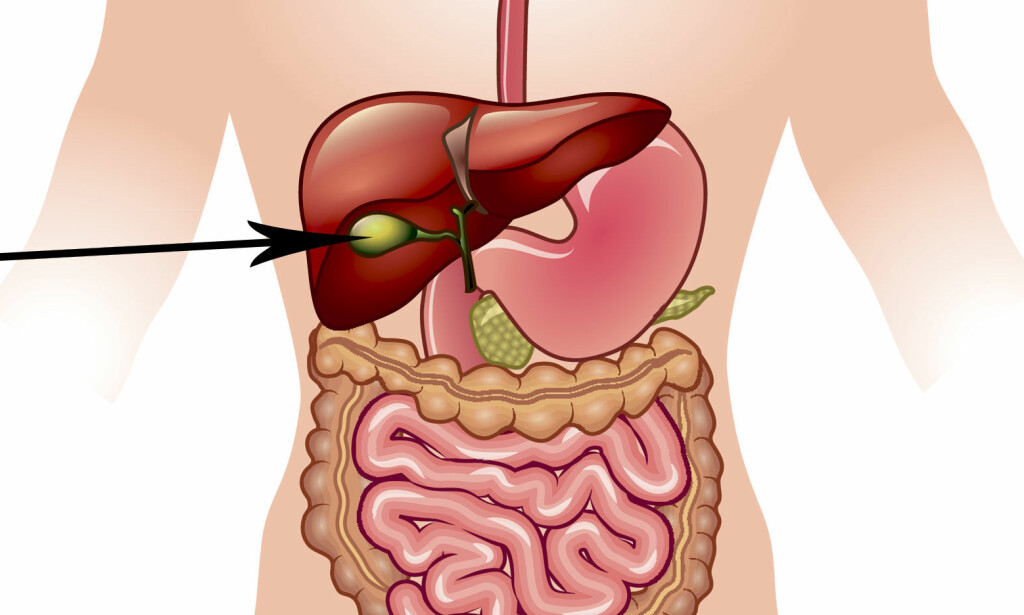 HER ER GALLEBLÆREN: Galleblæren ligger plassert under leveren din, på høyre side av kroppen. Illustrasjon: NTB Scanpix/Shutterstock