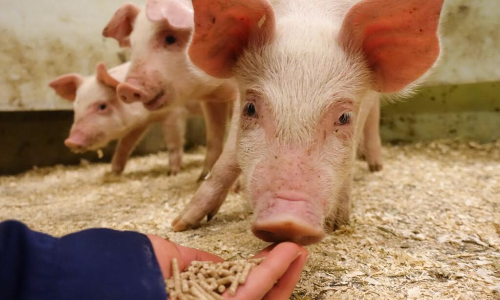 NYSGJERRIGE: Woody er ikke navnet på en gris, men 48 griser som fikk pellets laget av gjæret tømmer. Alle «Woodyene» var nysgjerrige på maten og spiste med god appetitt. Grisene levde i fem måneder før de ble slaktet tidligere i år. Foto: Norges skogeierforbund