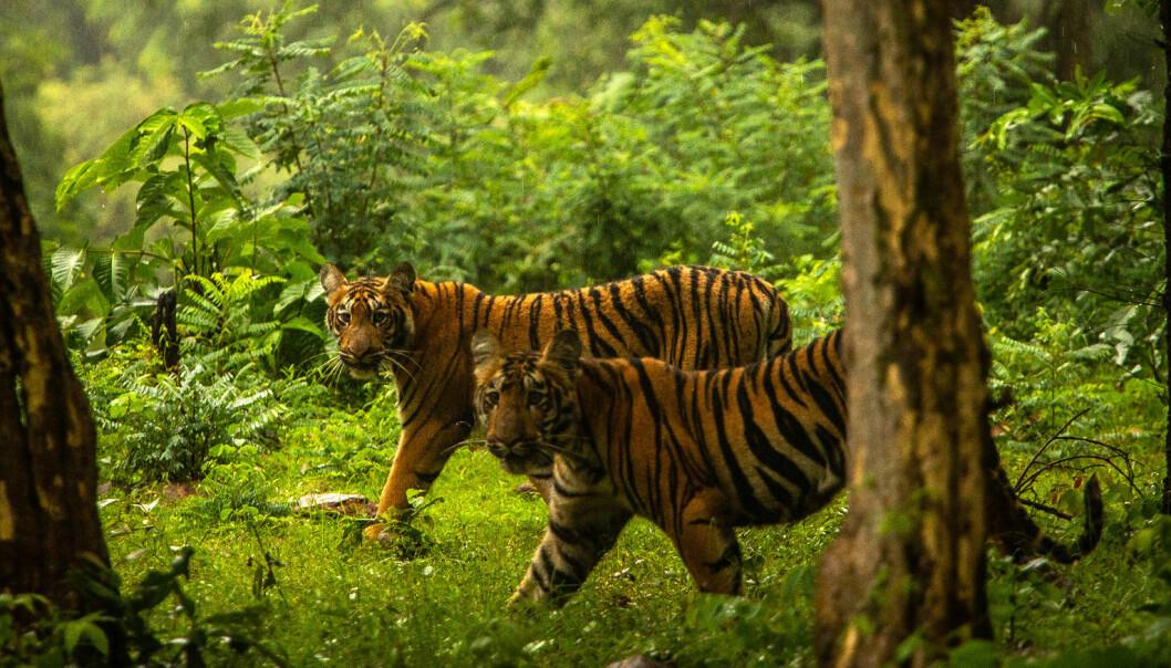«Desperat» forsøk skal fange tigeren