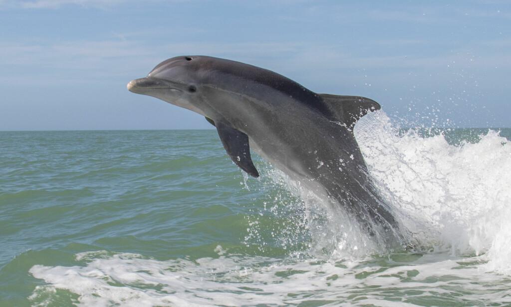 VIL ÅPNE FOR FANGST: Sametinget vil ha egne kvoter for fangst av flere delfinarter og niser i sjøsamiske områder. Foto: Shutterstock / NTB Scanpix
