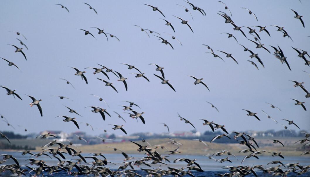 <strong>GRATIS:</strong> Å kikke på en gåseflokk på Jæren koster lite. Venter du på sjeldnere fugler, kan det riktignok koste deg noen timer. Foto: Roy Mangersnes / NN / NTB scanpix