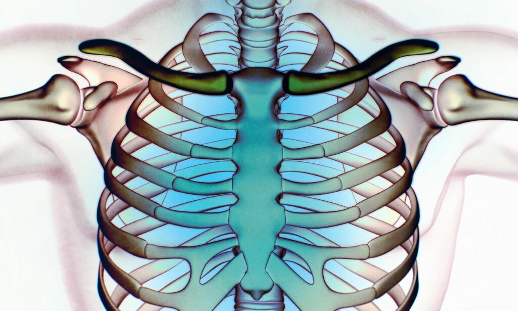 THORAX: Brystkassa består av bein og organene innenfor. Skade her kan være svært alvorlig. ILLUSTRASJON: NTB Scanpix/Shutterstock
