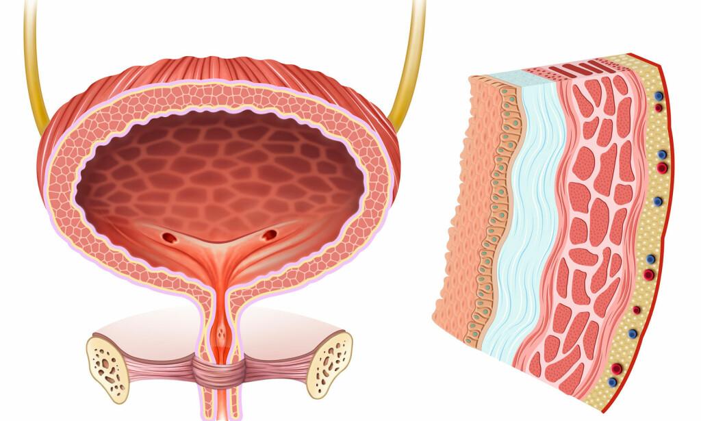 URINBLÆRA: Det kan være flere årsaker til at urinblæra ikke vil tømme seg. Dette kalles urinretensjon. Medisinsk illustrasjon: NTB Scanpix / Shutterstock