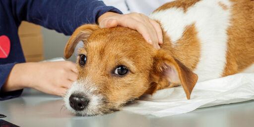 image: Dyrlege sparket: Hundrevis av hunder «hylte i smerte» under avliving