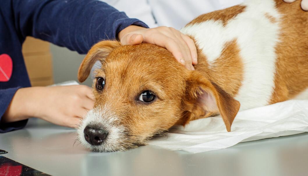 FIKK SPARKEN: Veterinæren mistet jobben da det ble klart at han hadde avlivet nærmere 200 hunder, og påført dem unødvendige smerter underveis. Illustrasjonsfoto: NTB Scanpix