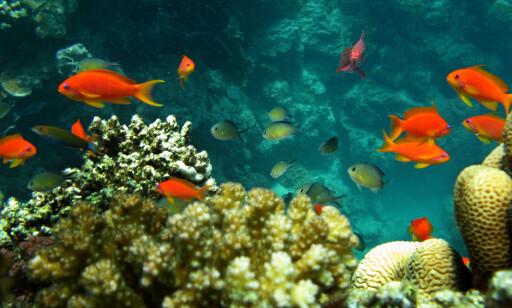 MOT SLUTTEN?: Tropiske korallrev, som dette i Rødehavet, vil ikke overleve dersom verden blir to grader varmere. Foto: Hassan Ammar / AFP Photo / NTB Scanpix