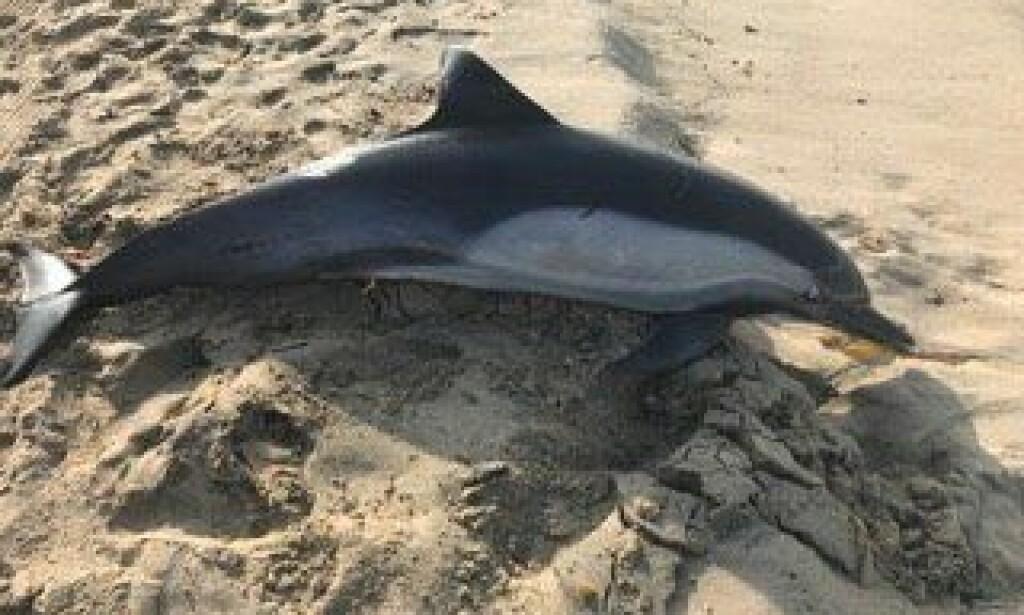 SKUTT: Dyrevernerne er forferdet etter funnet av delfinen på Manhattan Beach i California. Foto: Marine Animal Rescue