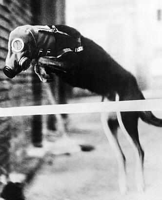 <strong>HUND:</strong> Et av de mest brukte dyrene er hunder. De finnes i mange militære støttefunksjoner, også i dag. Foto: AP Photo