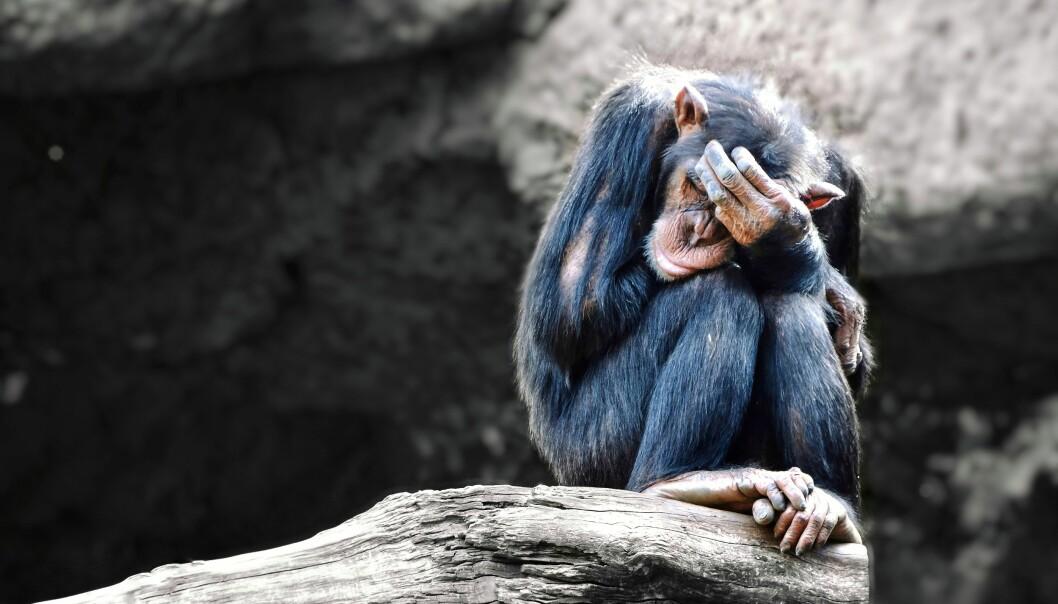 I TJUKKE SLEKTA: Lenge fant man det tryggest å anta at våre nærmeste slektninger i dyreriket slett ikke hadde noe til felles med oss, selv om de oppførte seg som oss. En mer naturlig forklaring er at likhet i oppførsel kan henge sammen med likhet også når det gjelder vår opplevelse av verden, skriver forfatterne. Foto: Shutterstock / NTB Scanpix