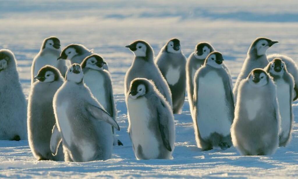 TOK GREP: BBCs filmteam gjorde et unntak fra regelen om å ikke gripe inn i naturen, da de filmet siste episode av dokumentarserien «Dynasties». Foto: BBC