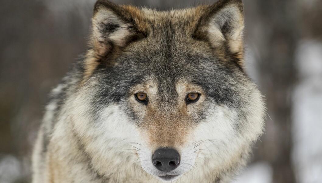 Oslo kommune ønsker å forby all jakt på ulv og andre store rovdyr i Nordmarka og Østmarka. Foto: Heiko Junge / NTB scanpix