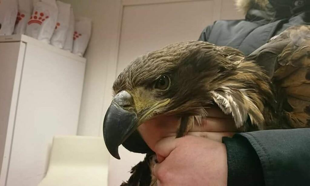 HAVØRN: Veterinæren forteller at ørnen var av typen havørn, som er fredet. Foto: Lakselv dyreklinikk