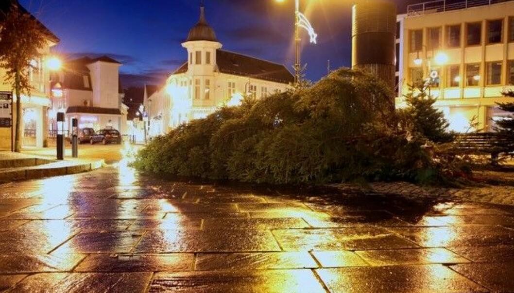 PØBELSTREKER: Pøbler har i løpet av natta saget ned det store juletreet som skapte førjulsstemning i Flekkefjord sentrum. Foto: Lars Frøsland / Avisen Agder
