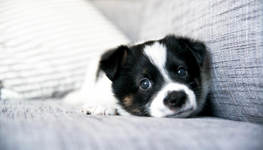 UNATURLIG: Hunden er et flokkdyr, og den vil oftest foretrekke å være sammen med flokken sin, det vil si eieren, forteller eksperten. FOTO: NTB Scanpix