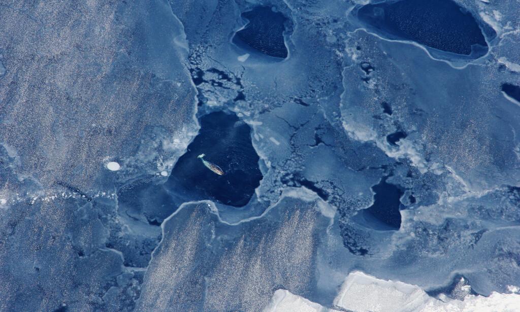 SLÅR ALARM: Flere forskere slår alarm om at innlandsisen på Grønland kan være «tapt», selv om verden skulle klare å nå togradersmålet i Parisavtalen. Bildet viser en hval som dukker opp i et hull i sjøisen utenfor Grønlands vestkyst. Foto: Kristin Laidre / Reuters / NTB Scanpix