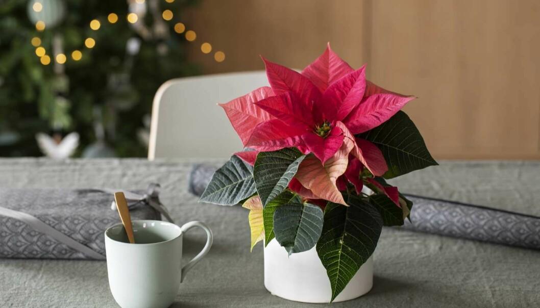 JULESTJERNE: Julestjerna er fast inventar i mange julehjem, men noen blir syke av den. FOTO: Mester Grønn
