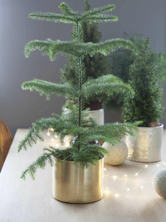 STUEGRAN: Passer kjempegodt med julepynt, tipser Brekke. FOTO: Mester Grønn