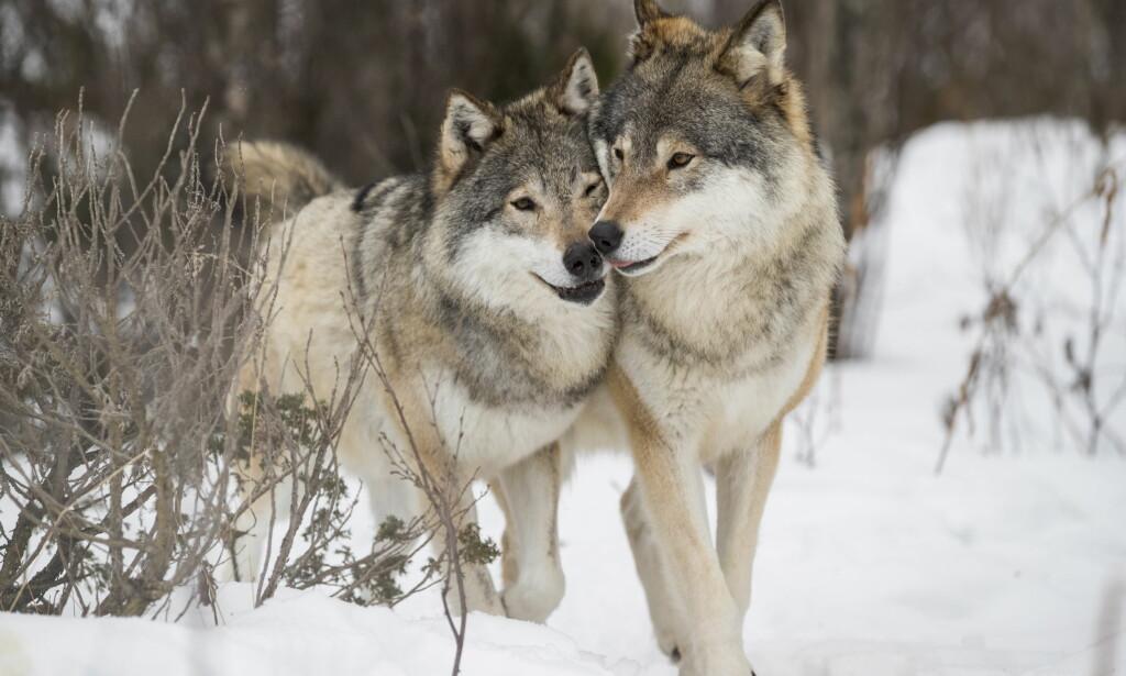 ULVEVEDTAK: Ulven er kritisk truet av utryddelse. Likevel skal de jaktes på, skriver artikkelforfatter. Foto: Heiko Junge / NTB Scanpix