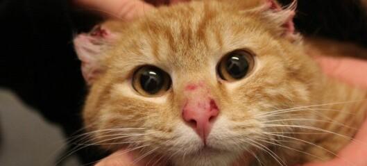 Katt funnet med avskårne ører. Trolig menneske som står bak