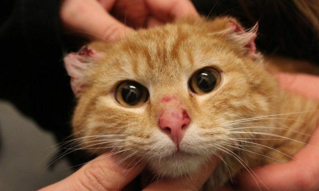 image: Katt funnet med avskårne ører. Trolig menneske som står bak