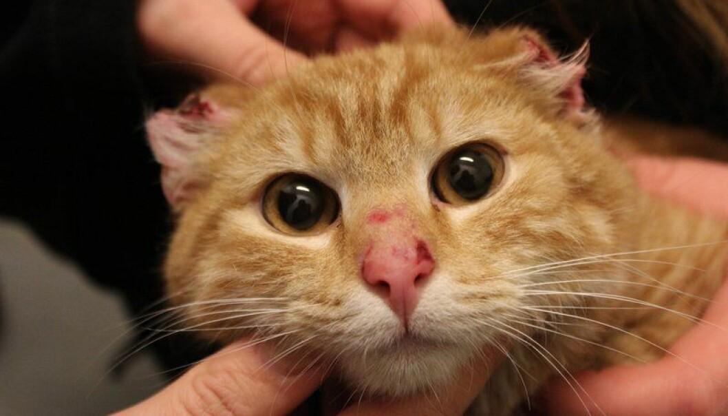 <strong>MISHANDLET:</strong> Denne katten ble funnet i Vestsjælland i Danmark, med ørene avklippet. Dyrevernorganisasjon er overbevist om at det er et menneske som står bak. Foto: Dyrenes Beskyttelse
