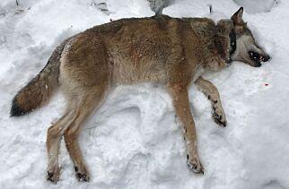 image: Prøvde å stoppe omstridt jakt - på mindre enn to timer var to ulv skutt